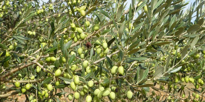 Marokkaanse olijfolie - #ilovemarokko